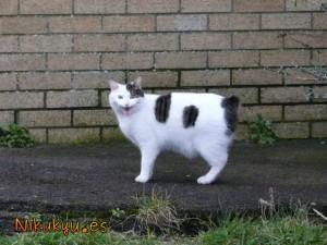 Manx Cat!!! :D