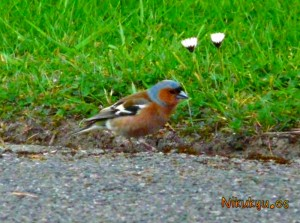 Chaffinch
