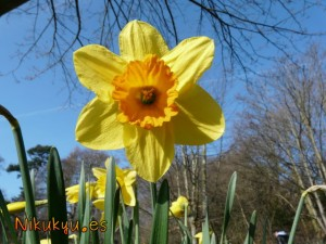 Daffodil en primavera